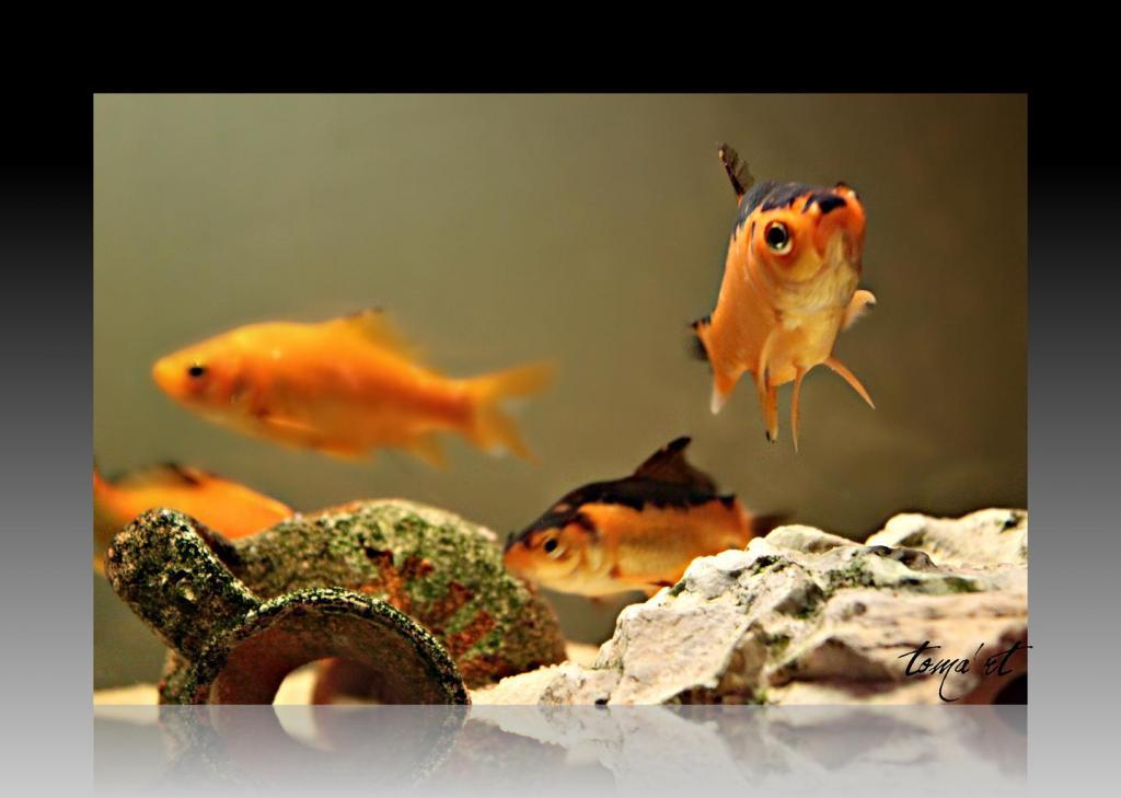 Comment garder la couleur de mon poisson rouge (noir) ? Img_02021-25f5dc2